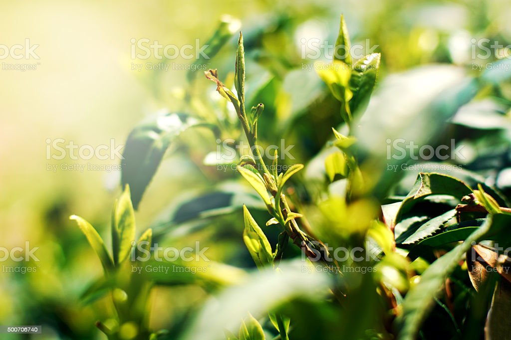 Fresh green tea leaves stock photo