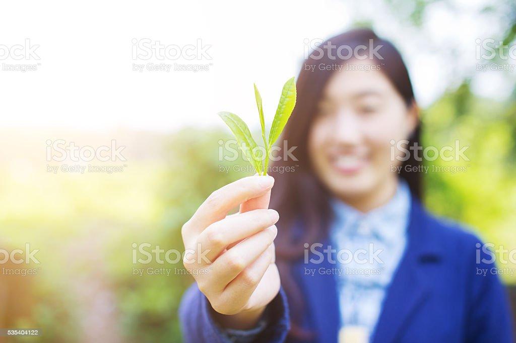 fresh green tea leaves stock photo