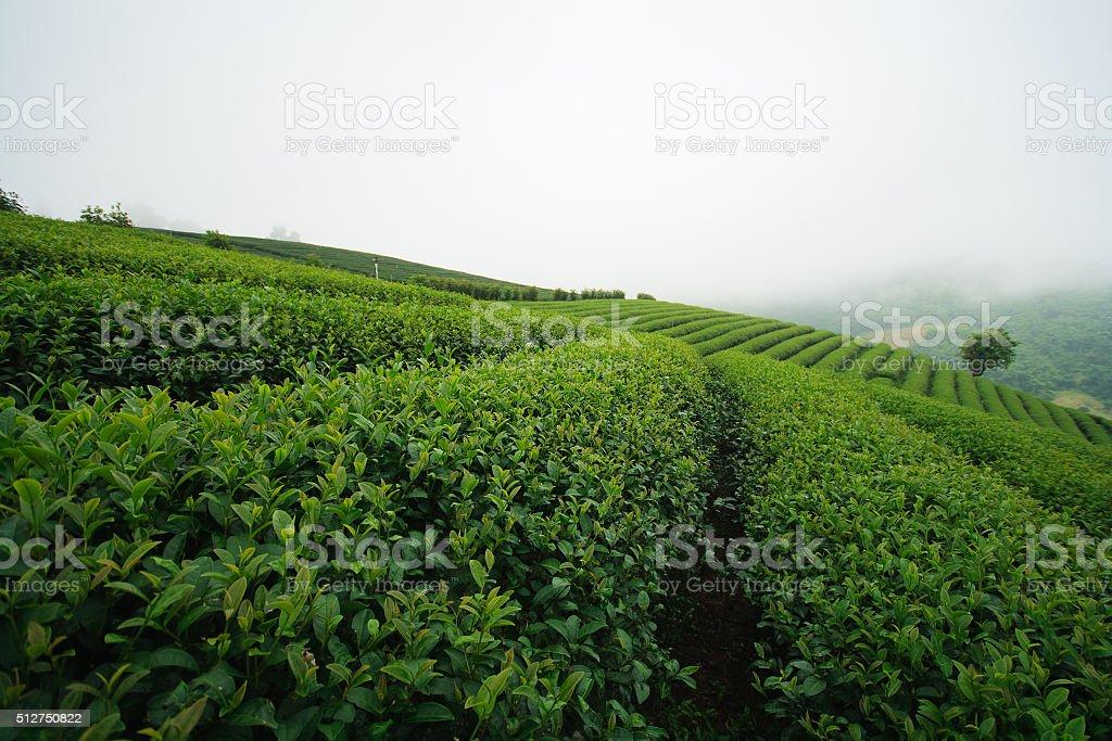 Fresh green tea plantation stock photo