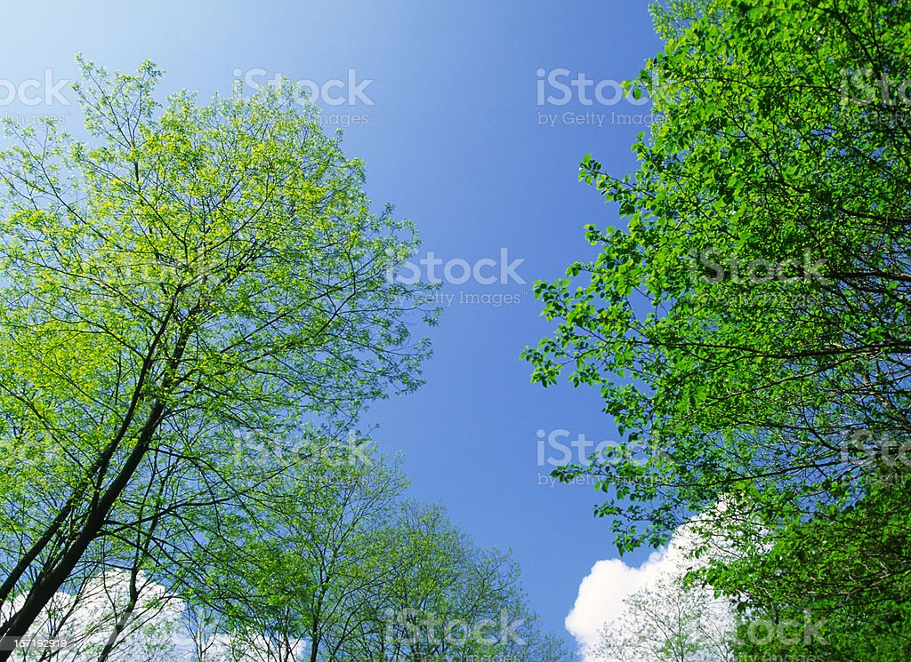 Fresh green tree in spring royalty-free stock photo
