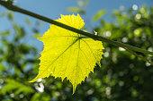 Fresh green vine leaf