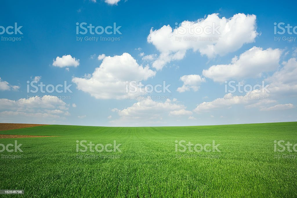 Fresh green wheat field and blue cloudy sky royalty-free stock photo