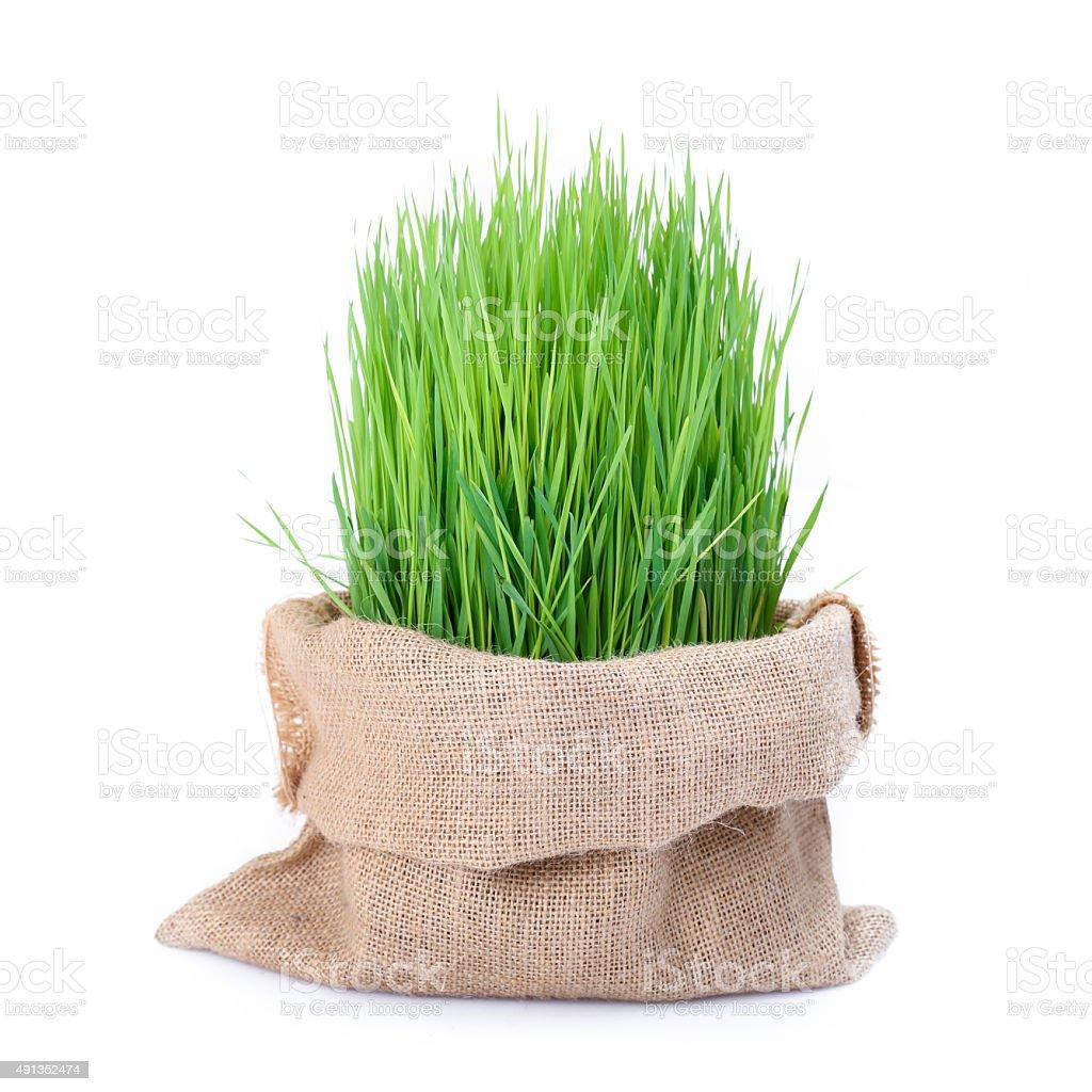 Fresh green wheat grass in sack bag stock photo