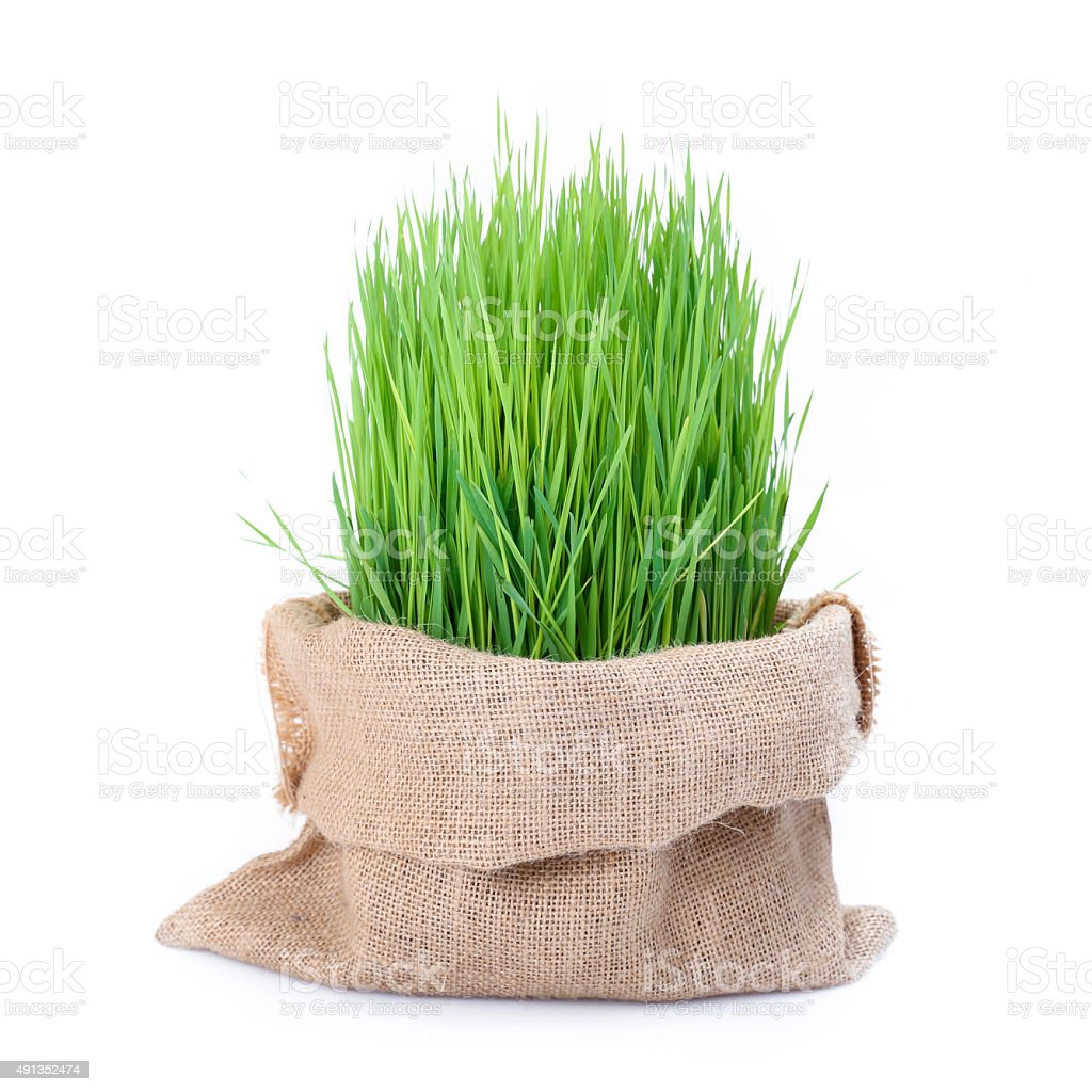 Fresh green wheat grass in sack bag stock photo