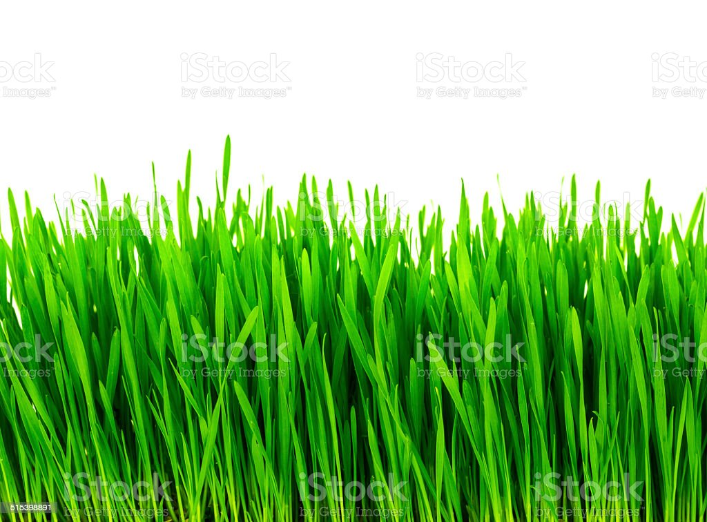 Fresh green wheat grass isolated on white background stock photo