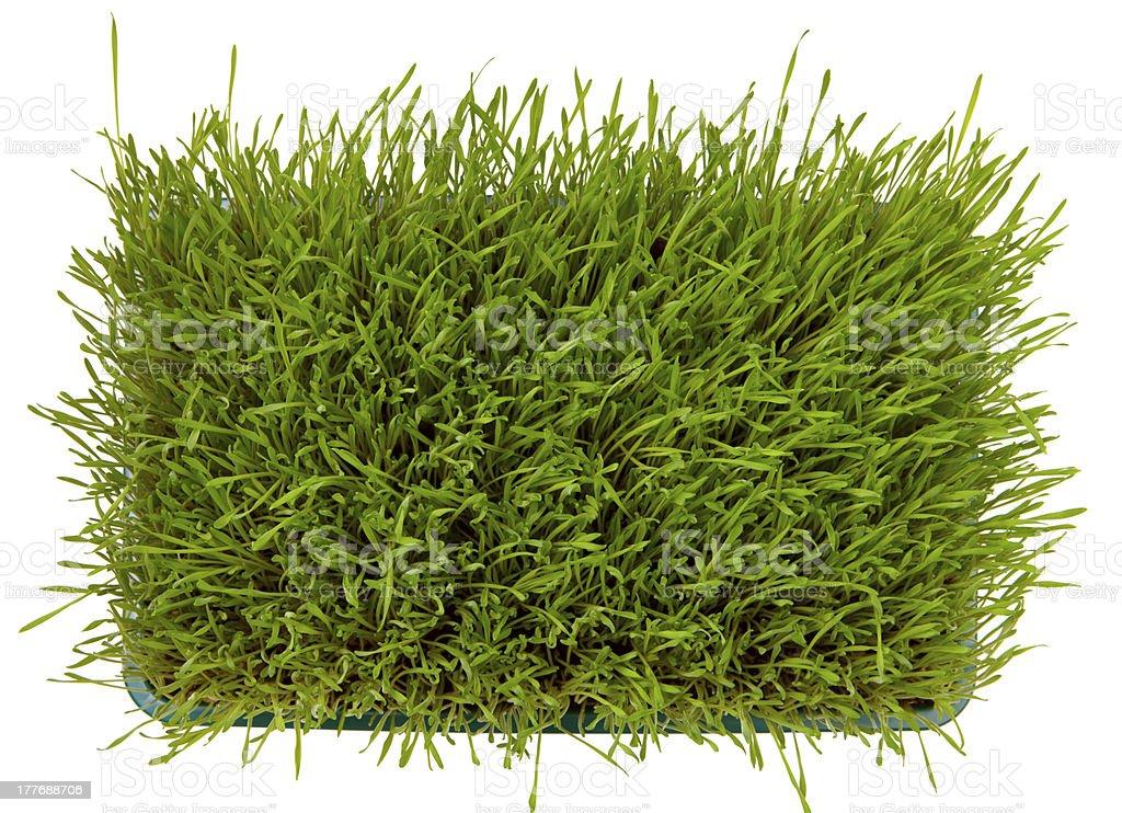 Fresh green wheatgrass royalty-free stock photo