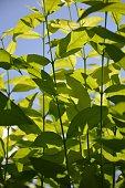 fresh green Wrightia religiosa Benth leaves