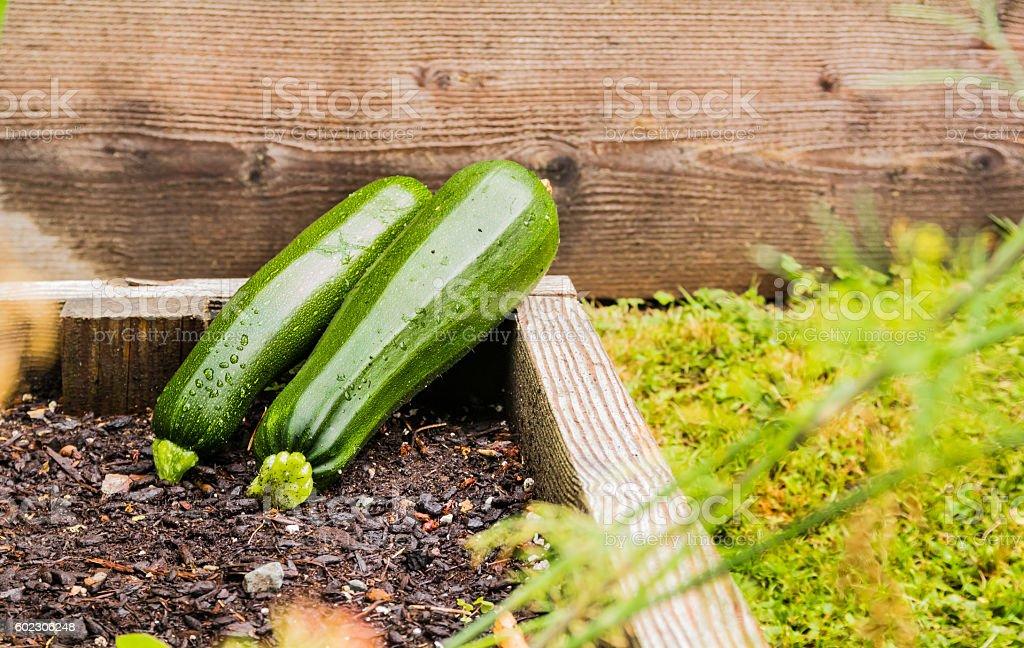 Fresh green zucchini stock photo