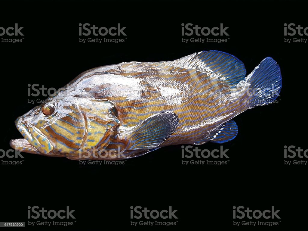 Fresh grouper fish isolated on black stock photo