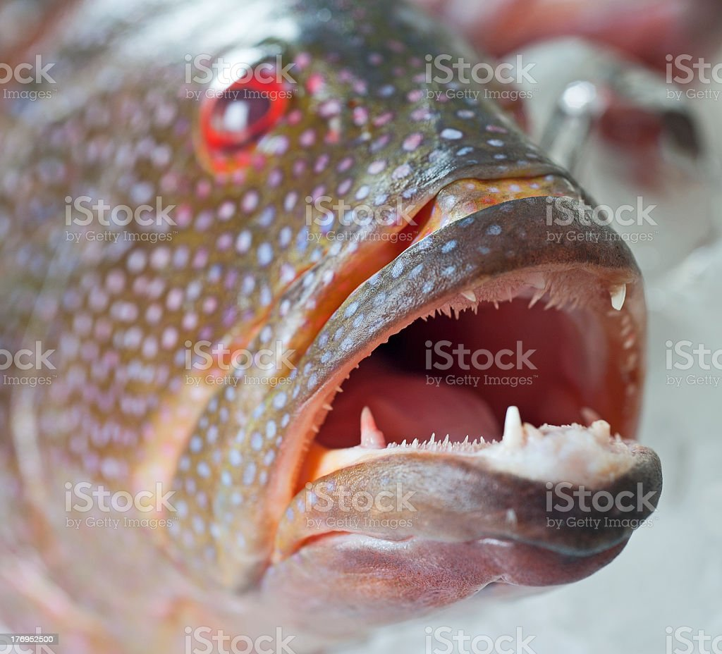 Fresh grouper fish on ice royalty-free stock photo