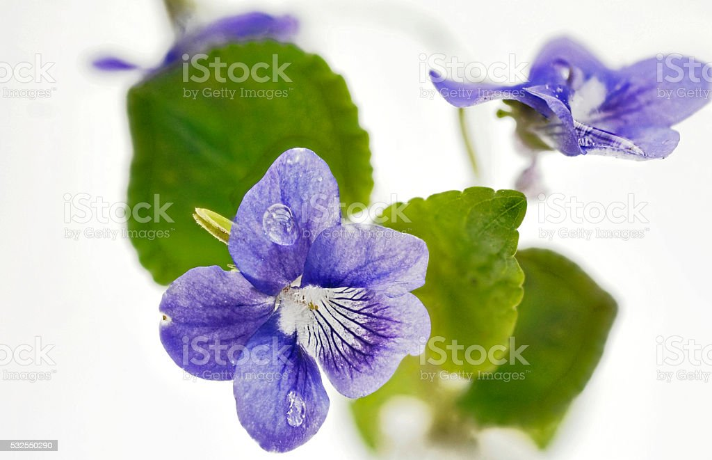 fresh Hain violets with leaves on white stock photo