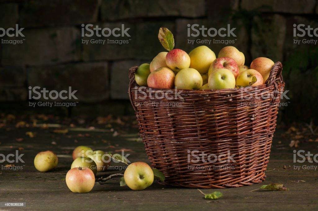 Fresh harvest of apples. Autumn gardening. stock photo