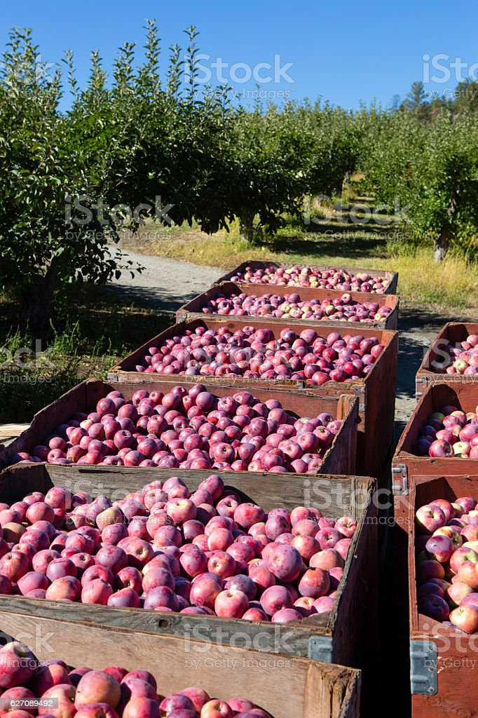 Fresh Harvest Ripe Organic Red Delicious Apple Okanagan Valley stock photo