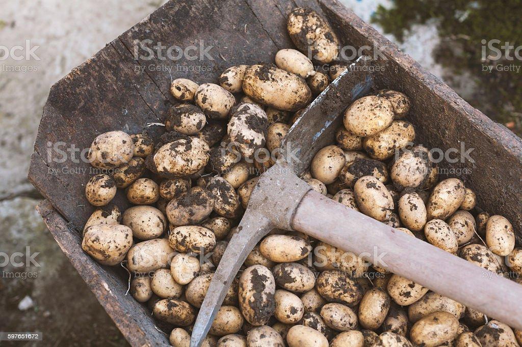 Fresh Harvested Raw Dirty Potatoes in a Wheelbarrow stock photo