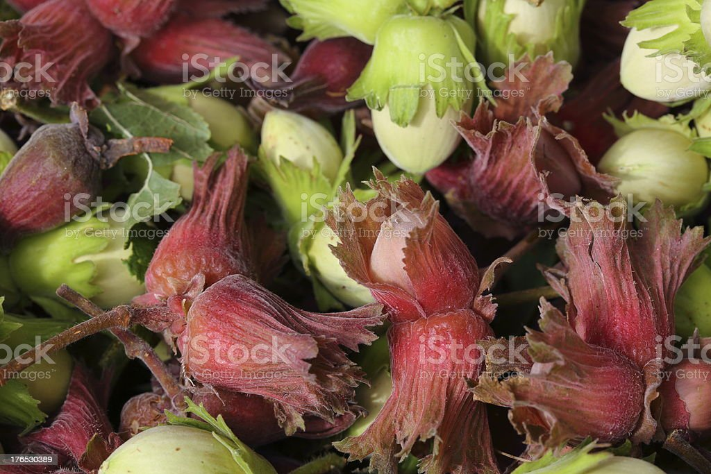 Fresh hazel nuts - cobnuts full frame royalty-free stock photo