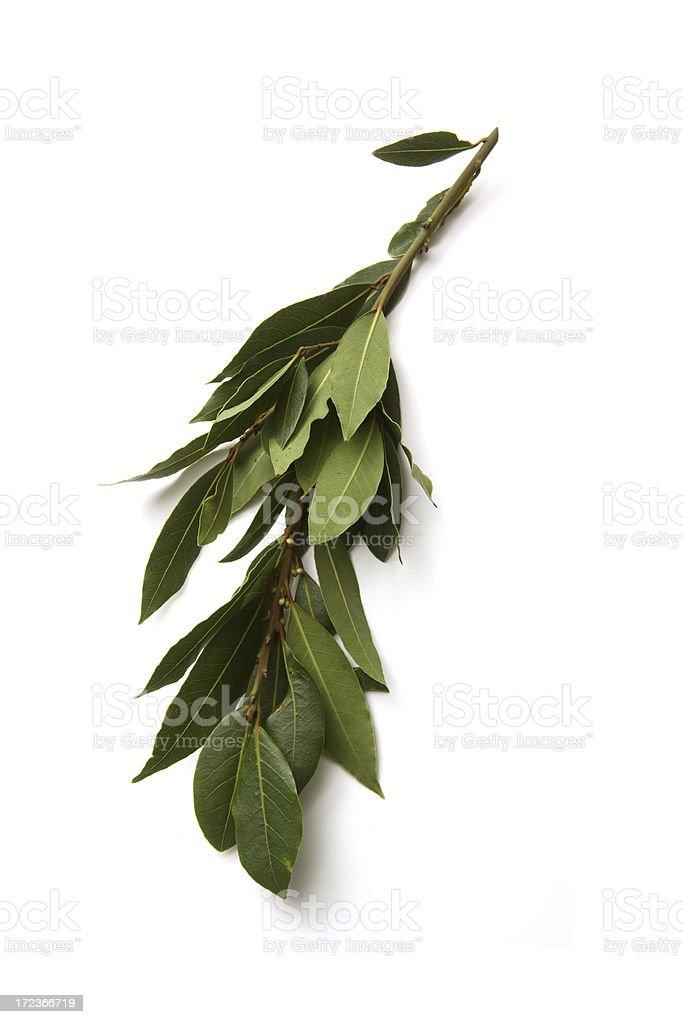 Fresh Herbs: Bay Laurel royalty-free stock photo