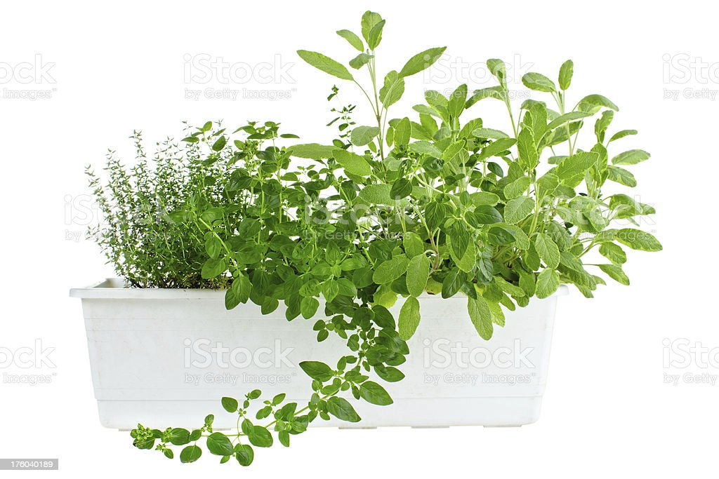 Fresh herbs in planter royalty-free stock photo
