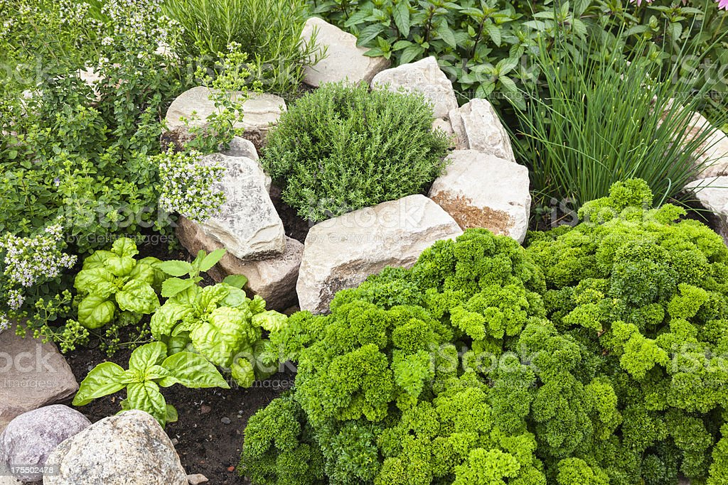 Fresh Herbs in the garden stock photo