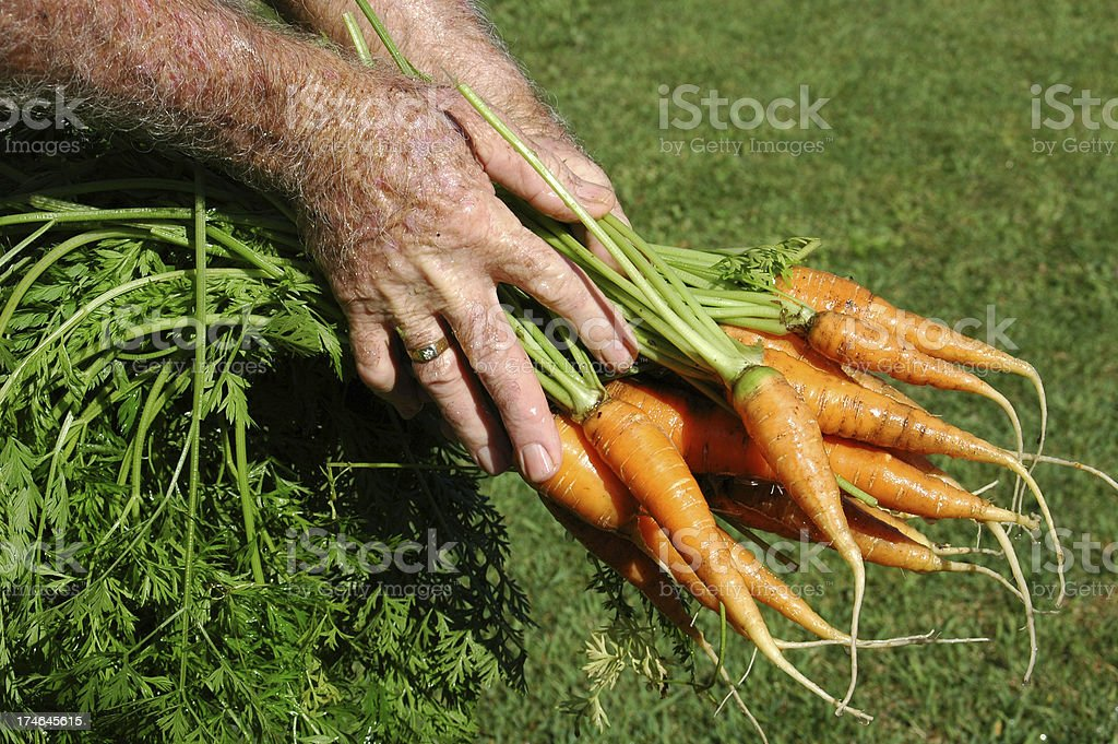 Fresh home grown organic carrots stock photo