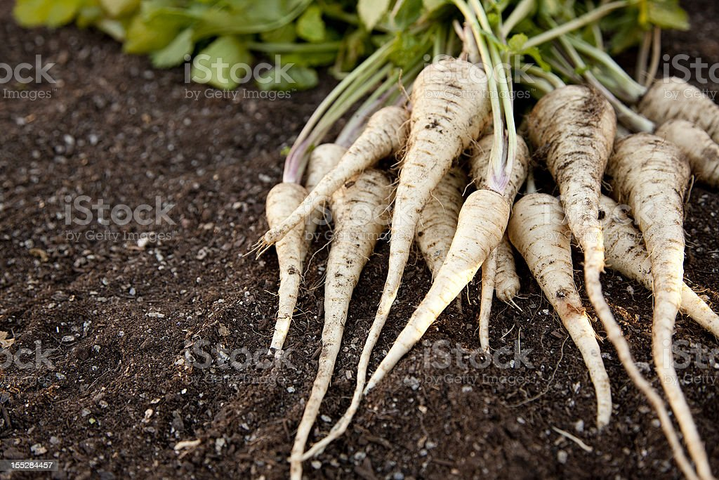 Fresh Homegrown Parsnips on Garden Soil stock photo