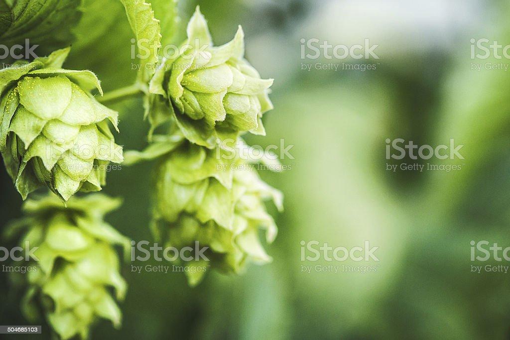 Fresh Hop Cones stock photo