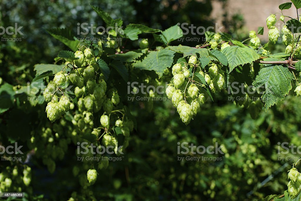 Fresh hops royalty-free stock photo
