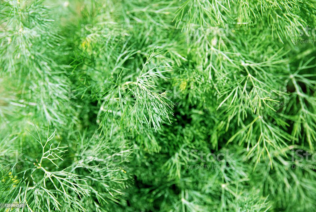 Fresh ingredients : fernleaf dill royalty-free stock photo