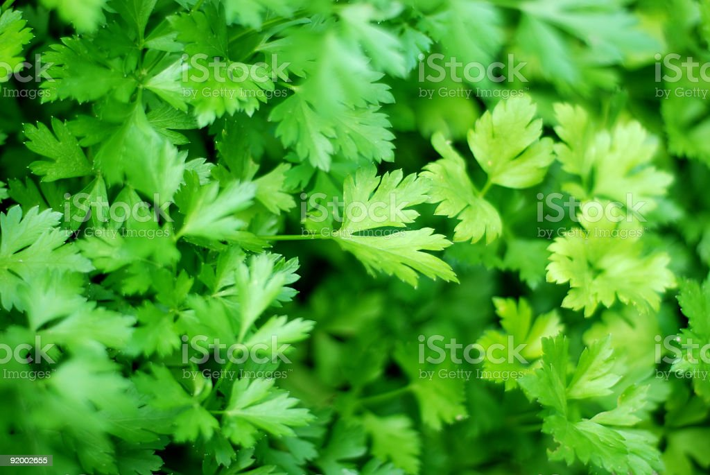 Fresh ingredients : parsley stock photo