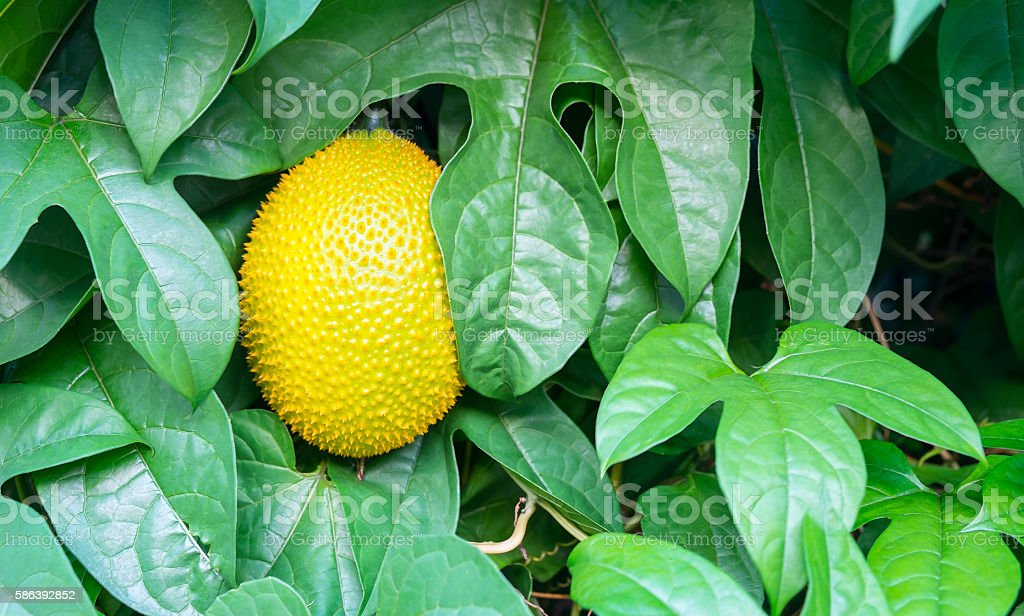 Fresh Jackfruit, Gac stock photo