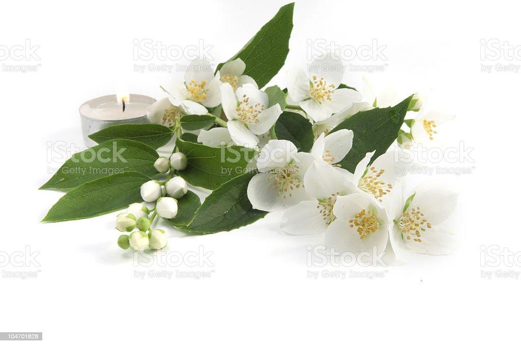 Fresh jasmine on an isolated white background royalty-free stock photo