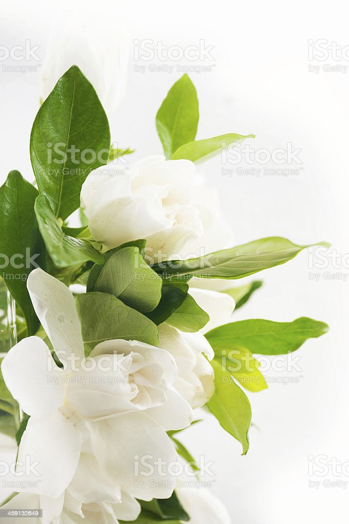 Fresh jasmine stock photo