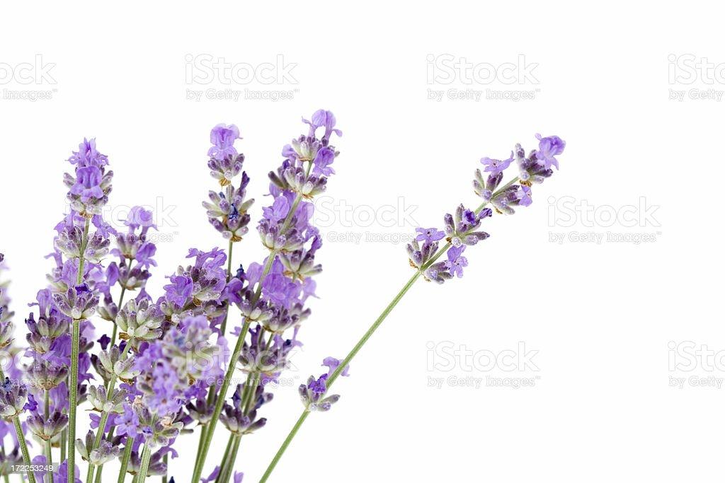 fresh lavender stock photo