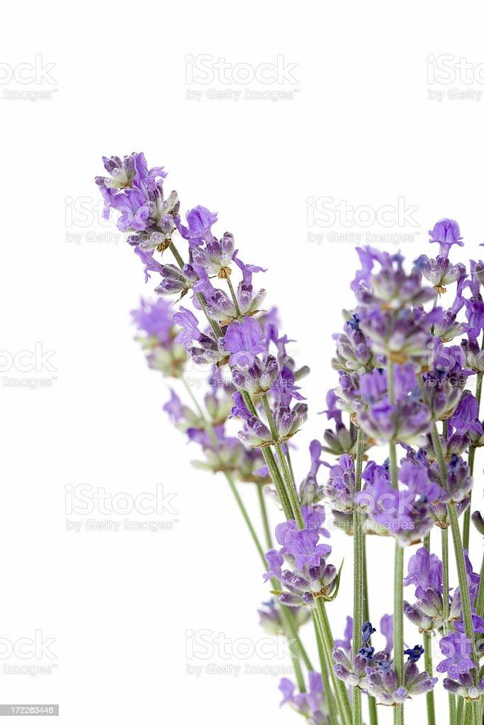 fresh lavender royalty-free stock photo