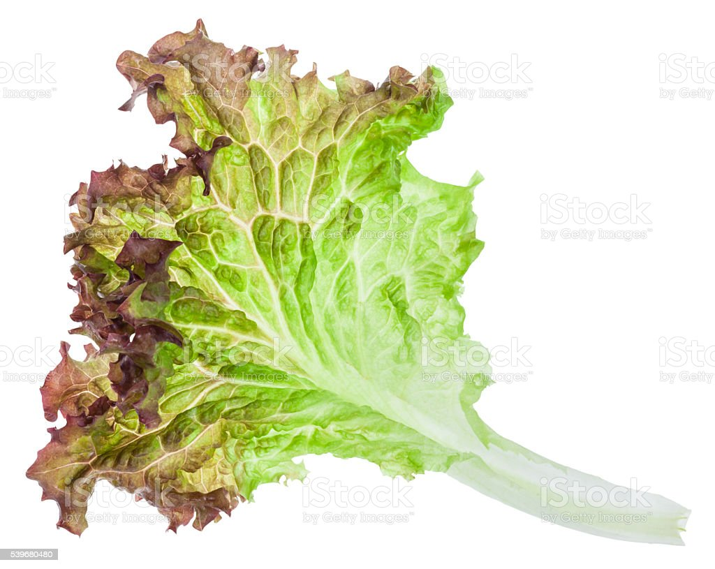 fresh leaf of Lollo rosso lettuce isolated stock photo