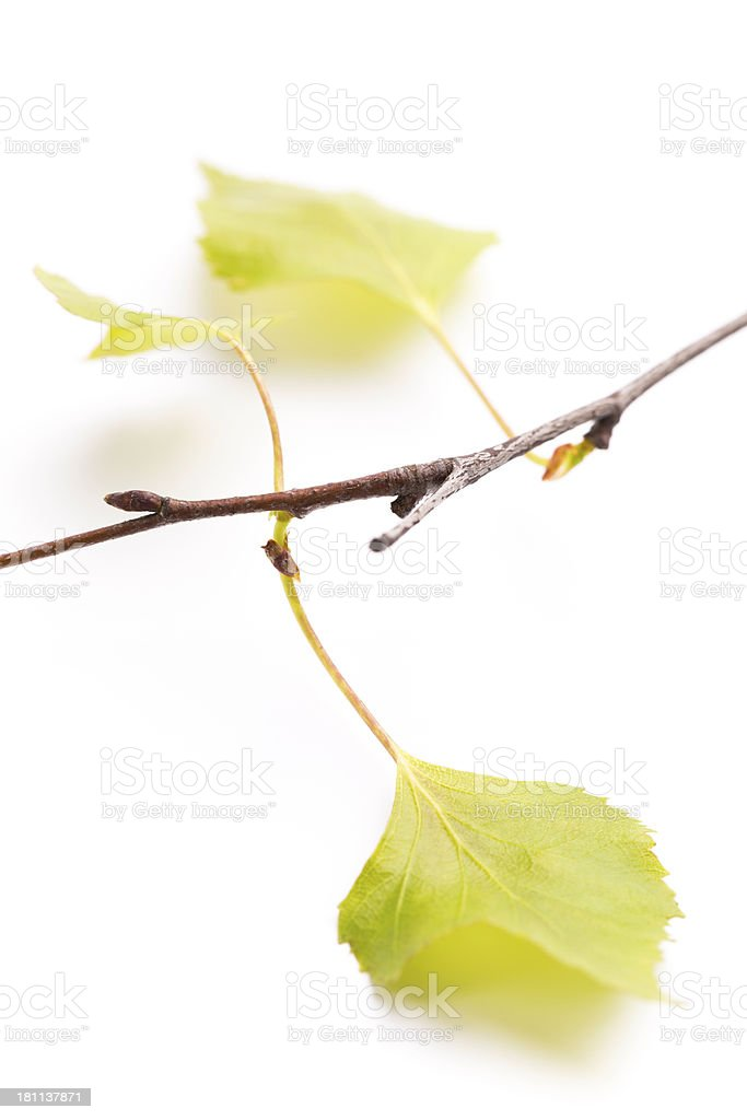 fresh leaf royalty-free stock photo