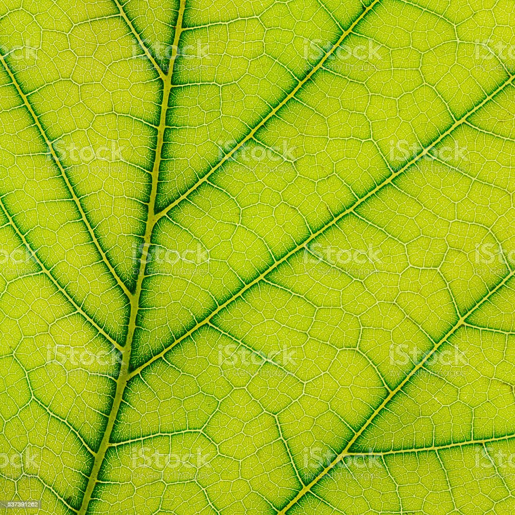 fresh leaf stock photo