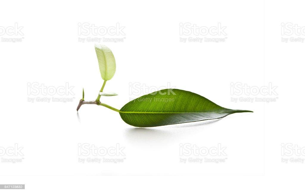 fresh leaf stock photo