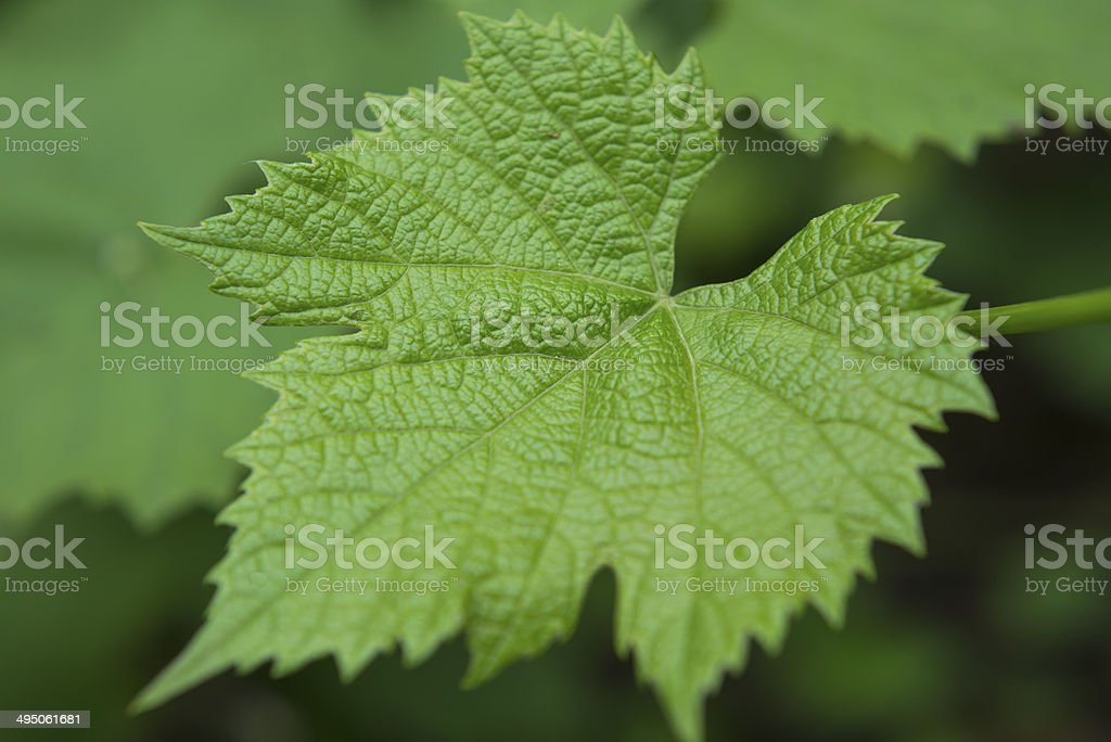 Fresh Leafs royalty-free stock photo