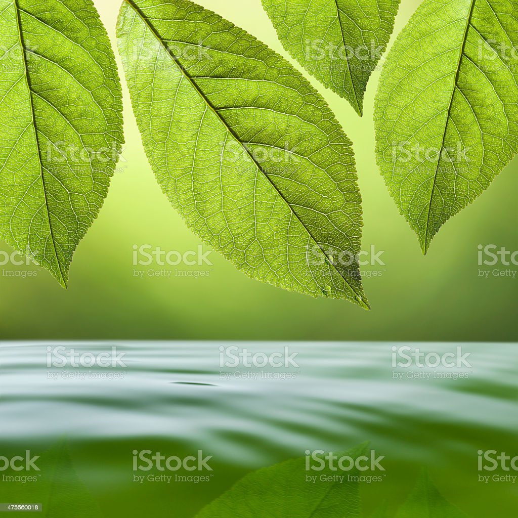 Fresh leaves above the water stock photo