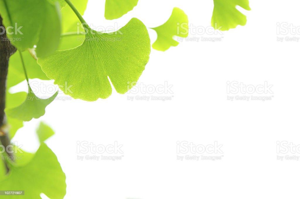 Fresh Leaves Ginkgo royalty-free stock photo