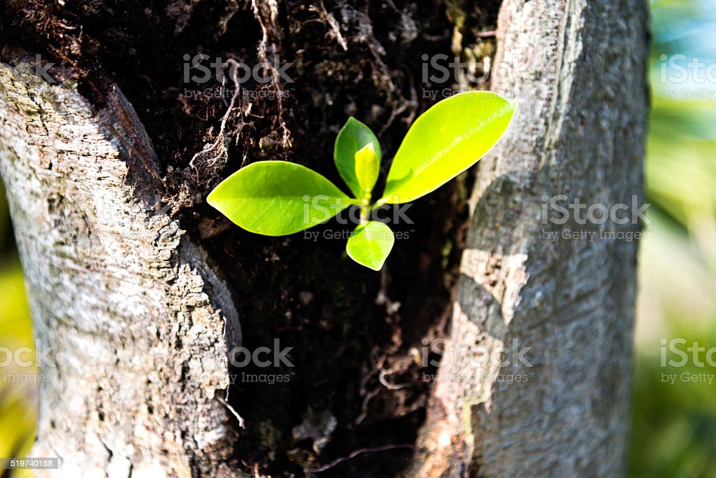Fresh leaves growing from old tree stock photo