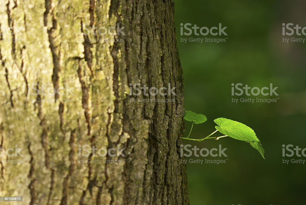 Fresh leaves growing out of the trunk of a tree royalty-free stock photo