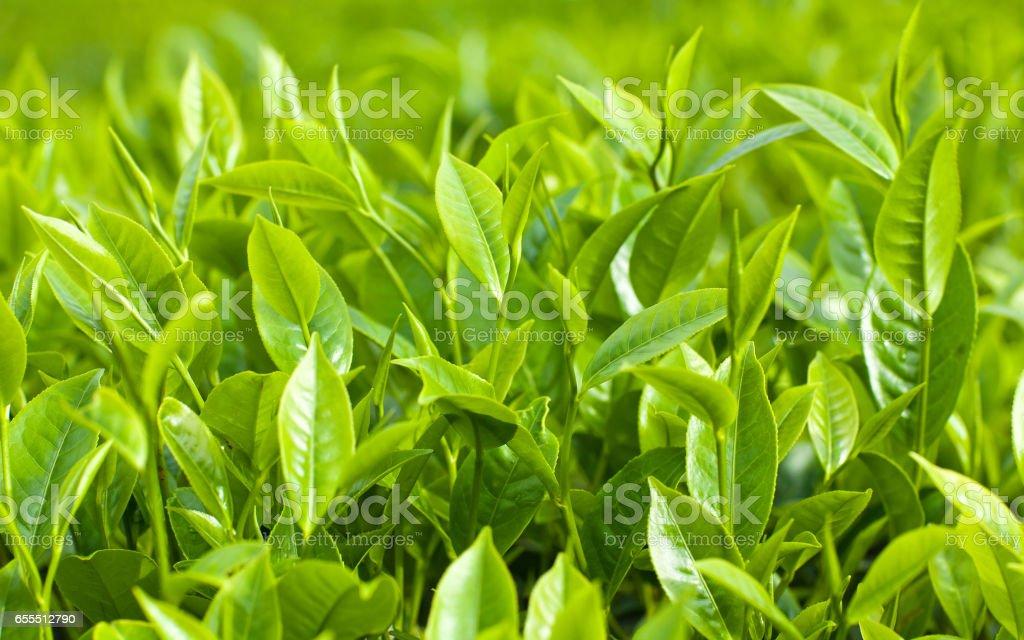 Fresh leaves of green tea stock photo