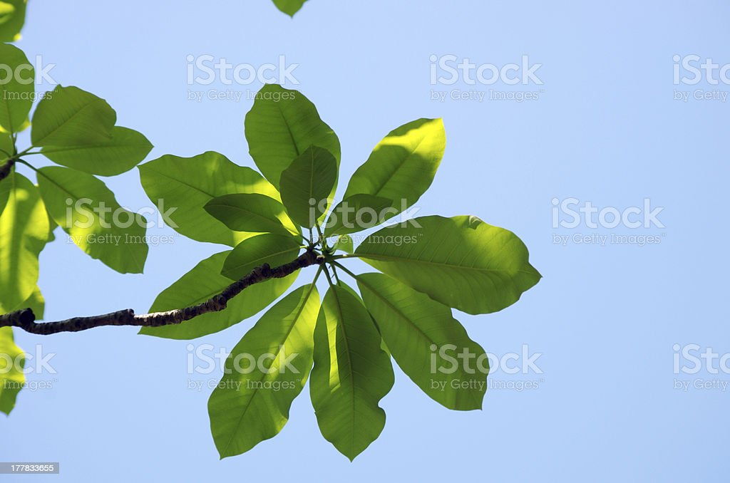 fresh leaves of magnolia against blue sky royalty-free stock photo