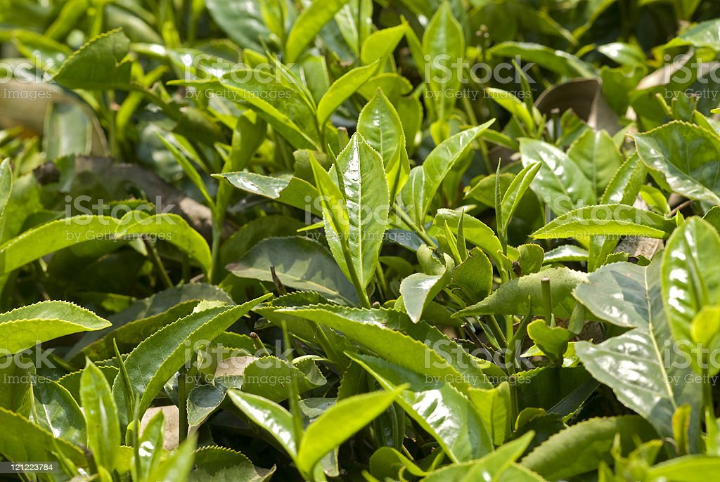 Fresh leaves of tea. royalty-free stock photo