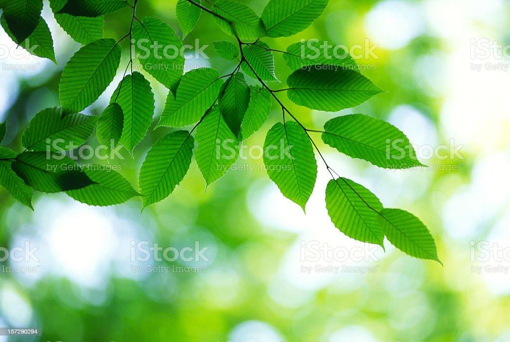 Fresh leaves royalty-free stock photo