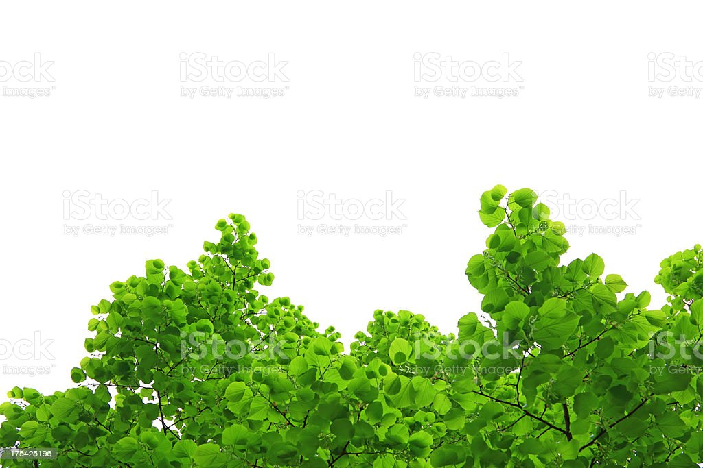 Fresh leaves royalty-free stock photo