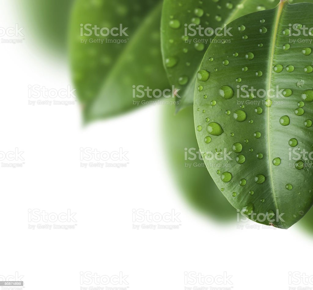 Fresh leaves with drops of morning dew still on them stock photo