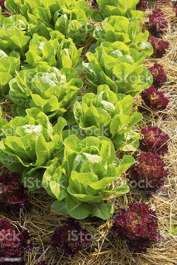 Fresh lettuce for salad royalty-free stock photo