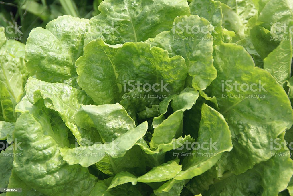 Fresh lettuce from the garden royalty-free stock photo
